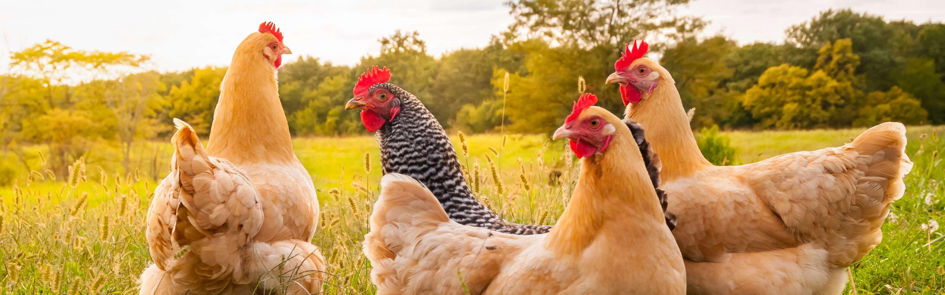 Poultry - Alltech